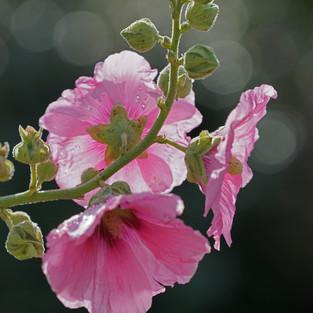 L'âme des Fleurs . Pink Life