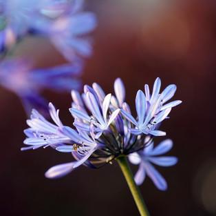 L'âme des Fleurs . Purple Dream