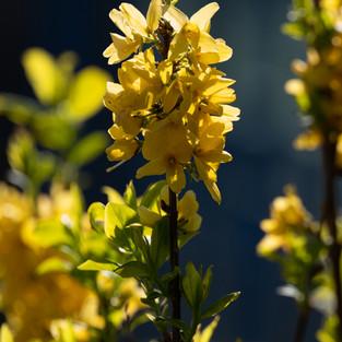 L'âme des Fleurs . Yellow Line