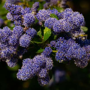 L'âme des Fleurs . Blue Feeling