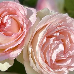 L'âme des Fleurs . Velvet Caress
