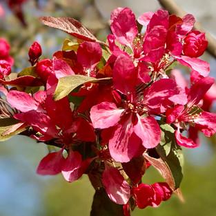 L'âme des Fleurs . Pink Spring