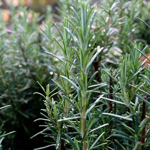 Rosemary - Bunch