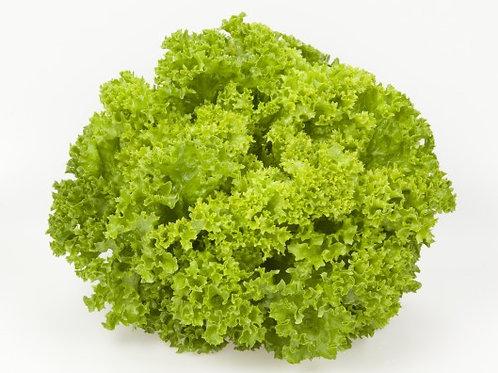 Lollo Biandi Lettuce