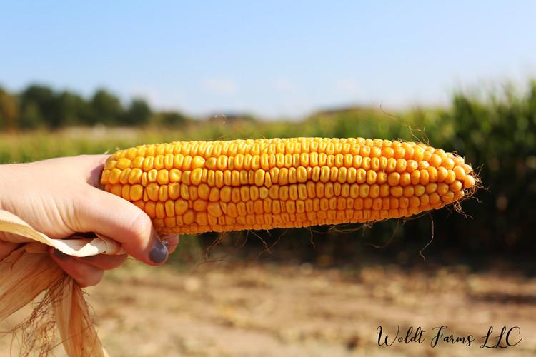 Corn Cob 2017.jpg