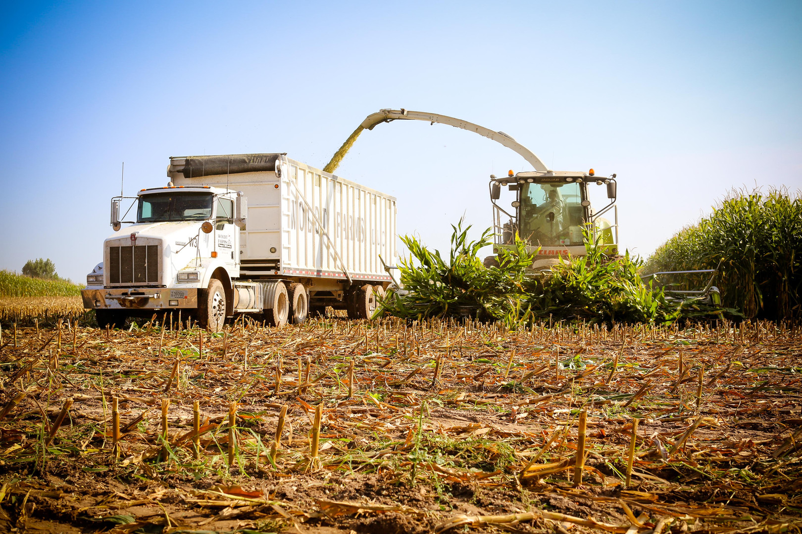Chopping Corn. September 2018 (30).jpg