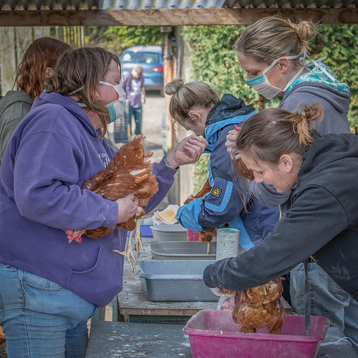 COLOUR - Chicken Inspection by Pamela Wilson (6 marks)