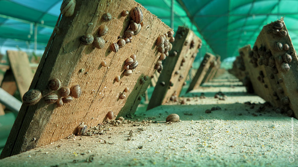 Onefoot Snail Farming