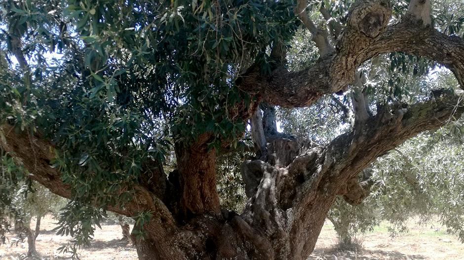Κορώνη, ελιά χιλίων ετών