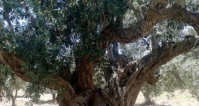 Δέντρο ελιάς, Κορώνη