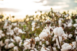 Our Cotton
