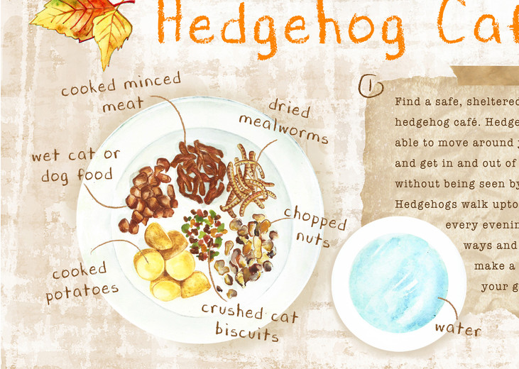 hedgehog2, Give Nature a home, Children's activity book idea, watercolour and digital illustration, watercolour wildflower meadows, wildlife, garden, kids outdoor activities, children's illustration, information illustration, Jenny Daymond Design and Illustration