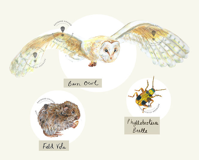 information illustration and natural history illustration, owl, vole and beetle illustration of meadow wildlife by Jenny Daymond Design and illustration story inspired subjects,