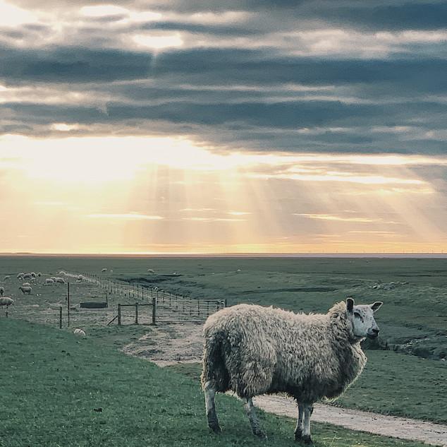 Sheep and Sunset, The Rewilding.JPG