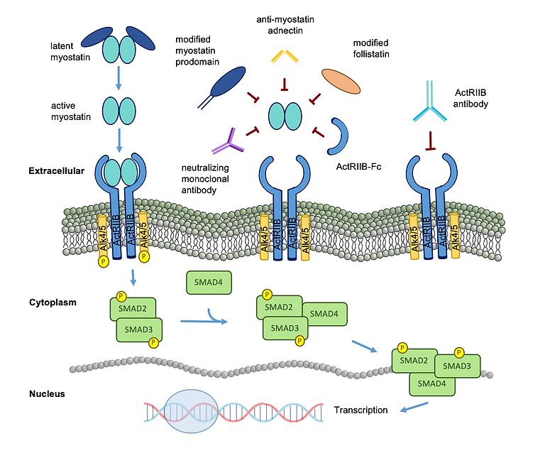 Myostatin inhibition figure
