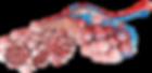 alveoli.png