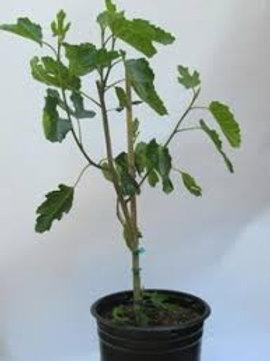 Lattarula Fig Tree