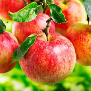 Dwarf Honeycrisp Apple