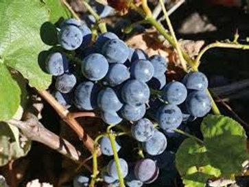 Blue Ice Grape