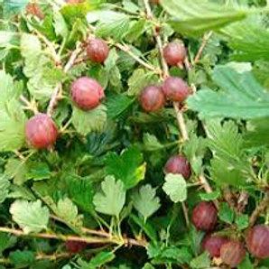 Hinnomaki Red Gooseberry