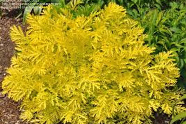 Gold Leaf Tansy