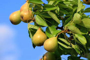 Ure Pear