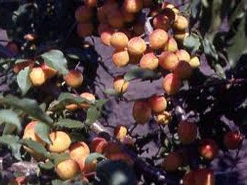 Apricot 'Durgarfield'