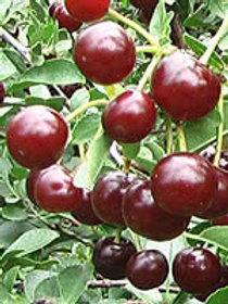 Carmine Jewel Cherry