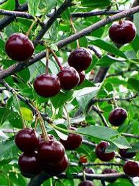 Romeo Cherry