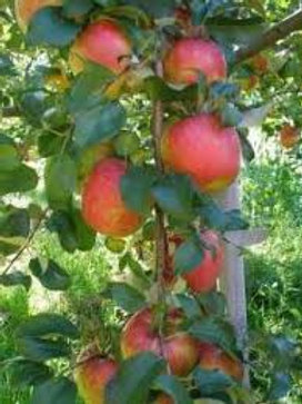 Norland Dwarf Apple