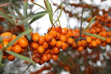 Leikora Seaberry / Sea Buckthorn