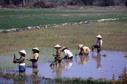 The rice fields of Vietnam