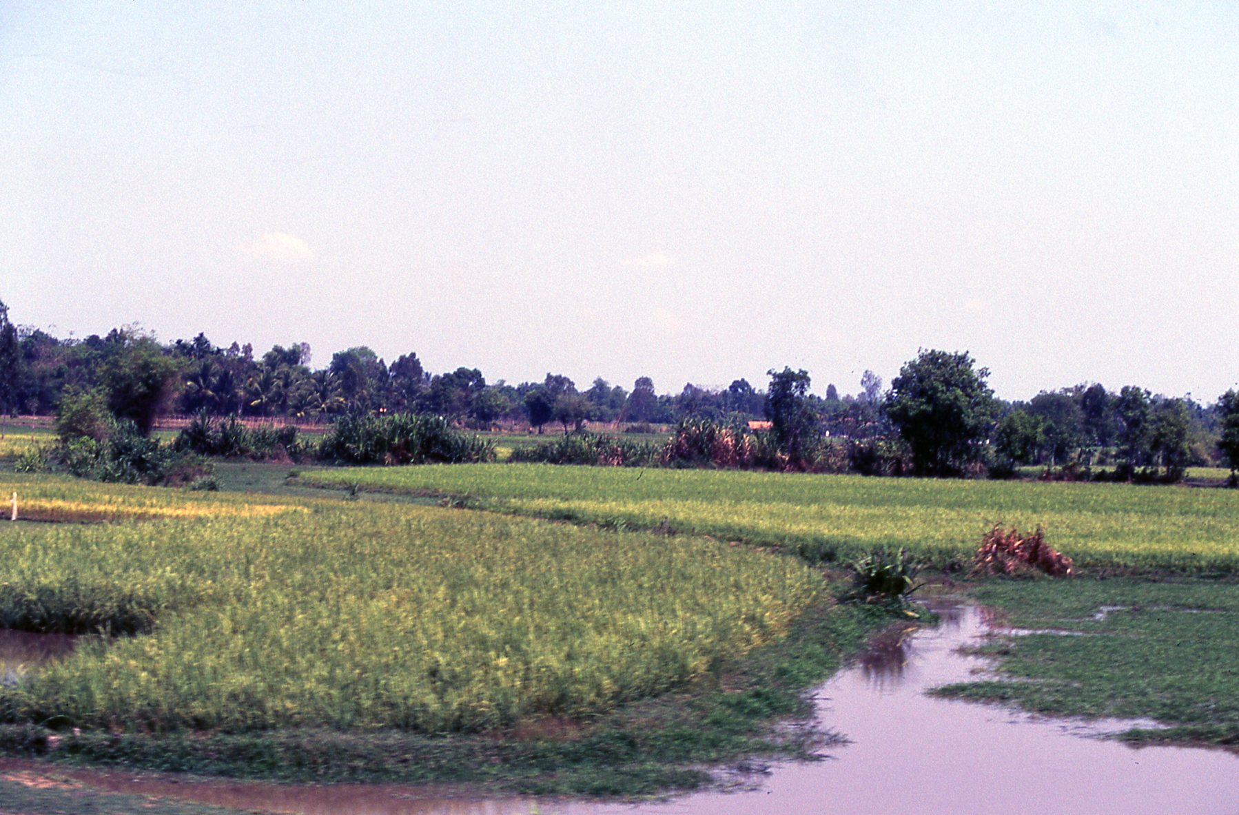 A rice field near Saigon