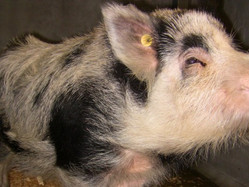 Pig-headedness the cause of Auckland Island pig facility closure