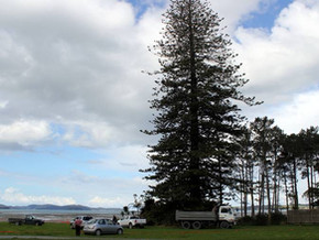 Snell's Beach historic pine exposes law's weak protection