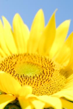 Sunflower ich.png