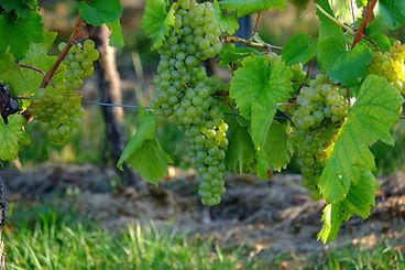 grapes-908987_1920.jpg