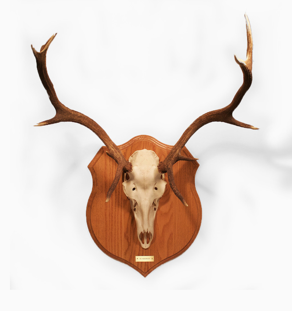 Red Stag Antlers