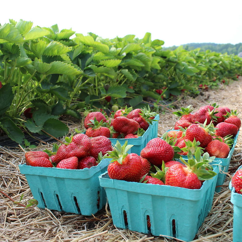 SOLD OUT - Pick-Your-Own Strawberries 6/17