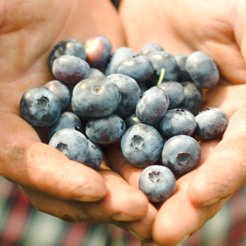 Pick Your Own Blueberries, Monday 7/6