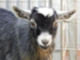 Pymgy goat NSW