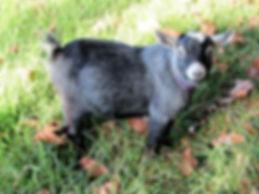 Pymgy goat Australia