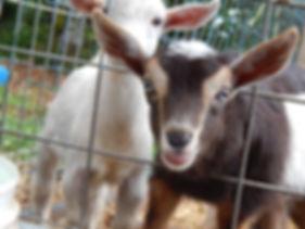miniature goats canberra