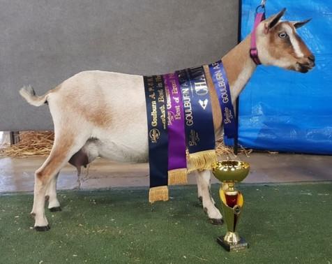 Australian Champion Zodiac Aurora ND37.5