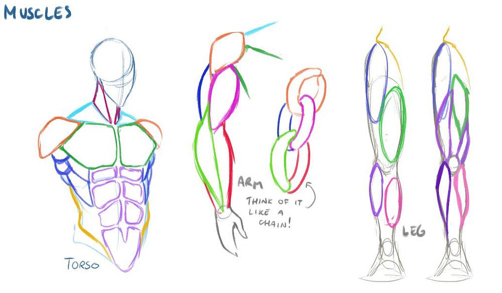 drawn studies of various muscle groups