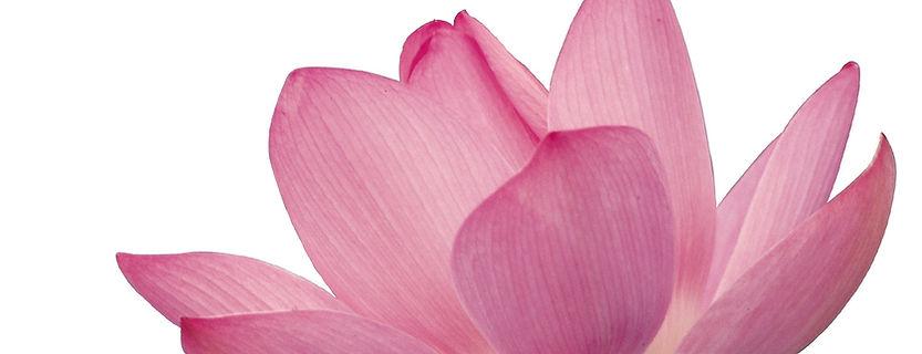 Los pétalos de flores de color rosa