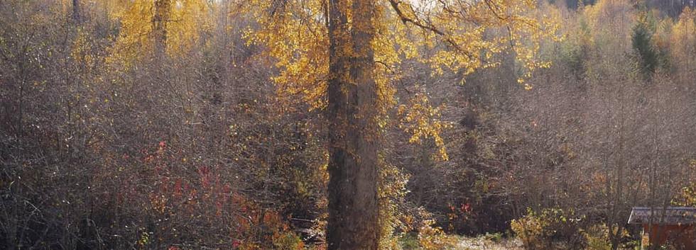 big tree ashram