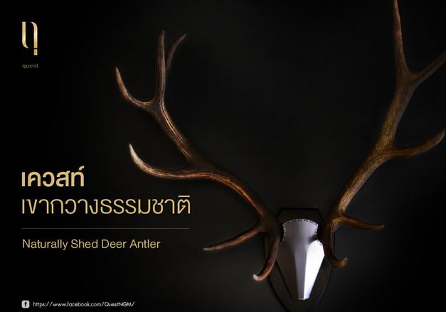 Quest Shed Deer Antler