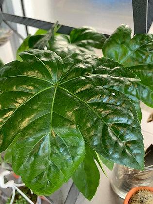 small castor oil plant in pot