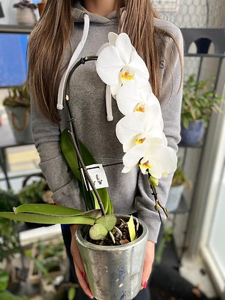 Stunning Large White Orchid